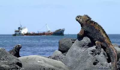 Marine iguanas on shore near the stranded fuel ship Jessica