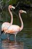 Flamingos_20126