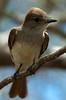 Flycatcher_33862