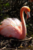 Flamingo_nesting_20194