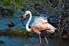 Flamingo_20119
