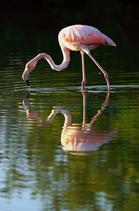 Galapagos flamingo, Phoenicopterus ruber
