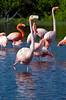Flamingos_20079