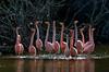 Flamingos_20072