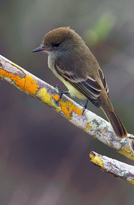 Galapagos large-billed flycatcher