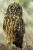 short-ear_owl