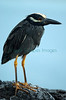 Night_Heron_19679