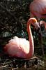 Flamingo_nesting_20152