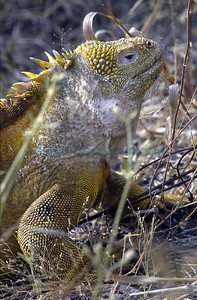 _5954 Conolophus subcristatus Santa Cruz island repatriated at Cerro Dragon