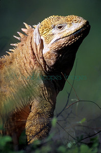 Cartago Bay, Isabela repatriated male Land Iguana
