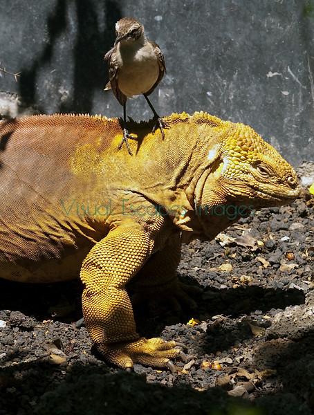 Iguana_mockingbird_31725