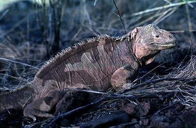 Conolophus pallidus_hms93_Isla Santa Fe
