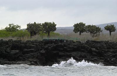 33462 Cabo Rosa Blanca Opuntia
