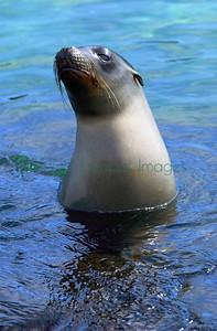 Galapagos juvenile sealion