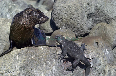 Fur seal and Marine Iguana