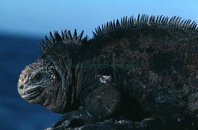 Male Marine iguana Amblyrhynchus cristatus