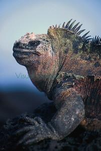 Marine Iguana male