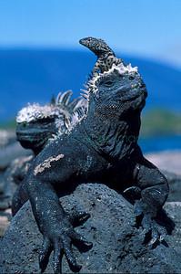 Marine Iguana and Lava Lizard Fernandina Island, Galapagos