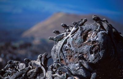 Marine iguanas sunning on lava boulder Fernandina Island, Galapagos