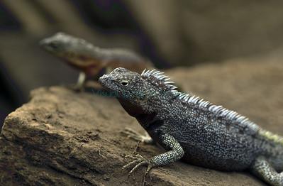 Marchena lava lizard, Microlophus habelii