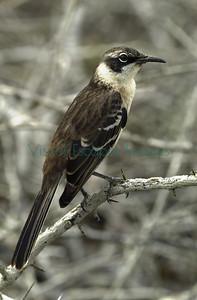 Pinta Island mockingbird