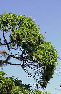 D1_27481 Scalesia pendunculata_Santa Cruz