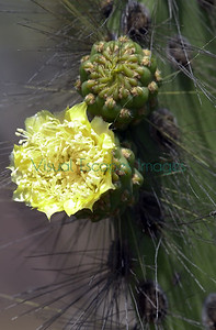 Opuntia galapageia flower / isla Santiago   James Island