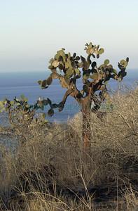 Opuntia echios barringtonensis Santa Fe Island