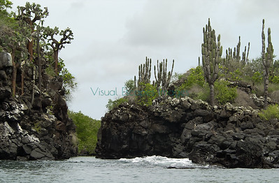 Opuntia and Jasminocereus on Santa Cruz Island