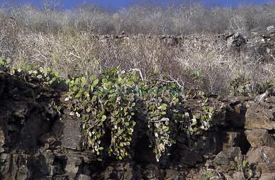 Opuntia helleri / Tower Island Galapagos