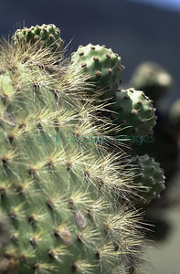 Opuntia galapageia macrocarpa Pinzon Island