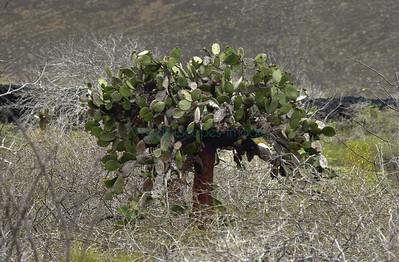 Opuntia galapageia on isla Pinta
