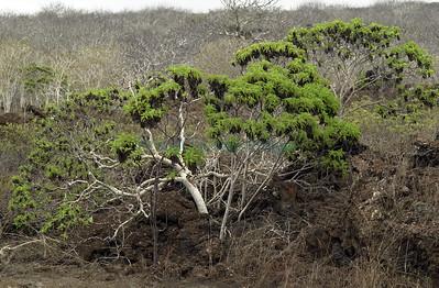 Scalesia baurii Pinta Island Galapagos