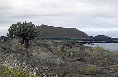 Opuntia on coast of isla Pinta Galapagos