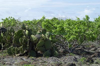 Opuntia echios var zacana / isla Seymour Norte