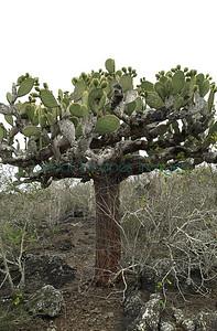 Opuntia megasperma var orientalis / isla Espanola