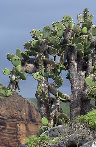 Opuntia echios Plaza Sur Island