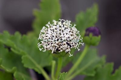 Scalesia bauri flower Pinta Island