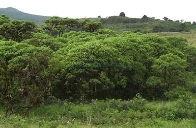Scalesia penduculata on isla Santiago / James Island