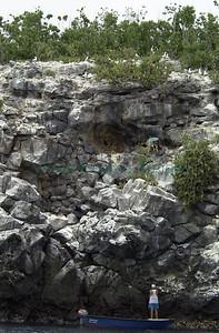Opuntia helleri/ isla Wolf