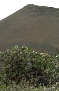Opuntia galapageia / isla Pinta