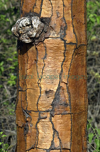 33634 Opuntia trunk CDRS