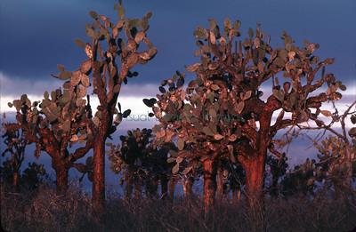 Opuntia echios var barringtonensis  isla Santa Fe