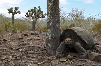 Tortoise eating Opuntia pad Pinzon Island
