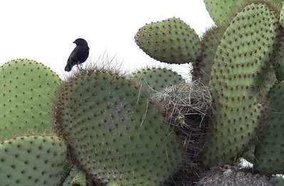Geospiza nest in Opuntia on Plaza Sur Island