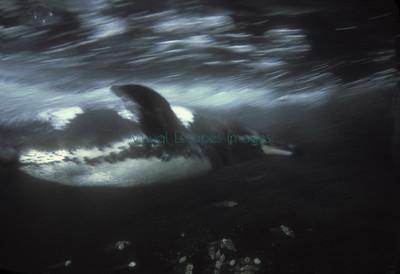Galapagos Penguin underwater Galapagos photos