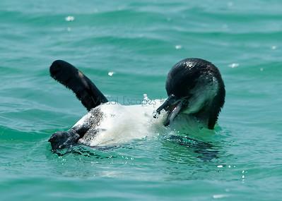 Galapagos penguin bathtime