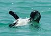 Penguin_release_preening_18211