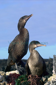 Galapagos Flightless Cormorants / Phalacrocorax harrisi