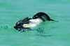 Penguin_release_18183